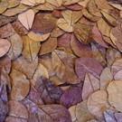 Onlineaquarium spullen Catappa bladeren 18-28 cm
