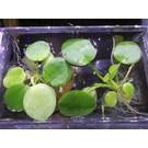 Onlineaquarium spullen Drijfplant Limnobium laevigatum