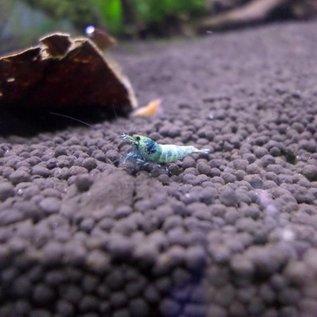 Blue Bolt Garnelen