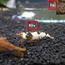 10 F1/F2 crystal black + 1 panda shrimp
