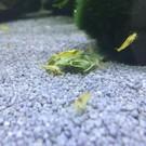 Gelbe Garnelen