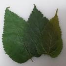 Onlineaquarium spullen Mulberry bladeren budget