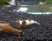Caridina shrimp