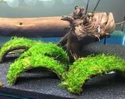 Kokosnuss mit Pflanzen/Moos