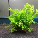 Onlineaquarium spullen Coconut piece with microsorum species