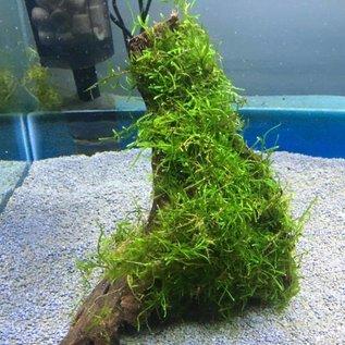 Onlineaquarium spullen Driftwood with java moss