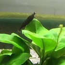 Black sakura shrimp