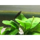 Black sakura shrimp