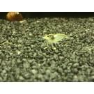 Weißperle