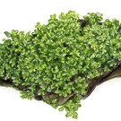 Tropica Coral moss on mat