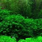 Tropica Fissidens Fontanus op mat