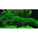 Tropica Fissidens fontanus auf Matte
