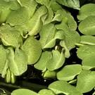Tropica Salvinia natans - In vitro cup