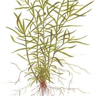 Tropica Heteranthera zosterifolia - In vitro cup