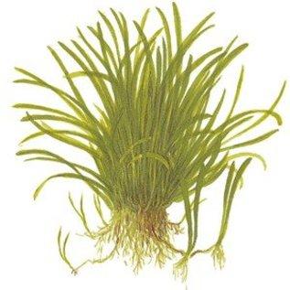 Tropica Lilaeopsis brasiliensis - In Vitro Cup Aquarienpflanze