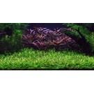 Tropica Helanthium tenellum - In Vitro Cup