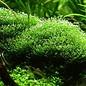 Tropica Riccia fluitans - In Vitro Cup Aquarium plant