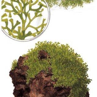 Tropica Riccia fluitans - In Vitro Cup Aquarienpflanze