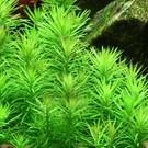Tropica Pogostemon erectus - In vitro cup