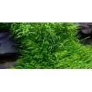 Tropica Utricularia graminifolia - In vitro cup