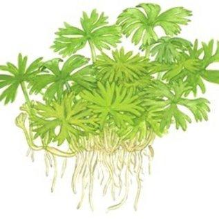 Tropica Ranunculus inundatus - In vitro cup