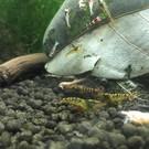 Tibee shrimp