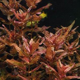 Tropica Rotala macrandra - In vitro cup