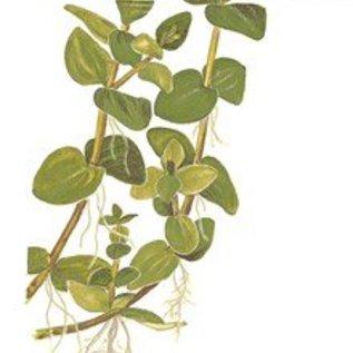 Tropica Bacopa caroliniana - In vitro cup
