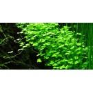 Tropica Hydrocotyle tripartita - In vitro cup