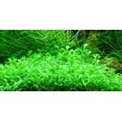Tropica Glossostigma elatinoides - In vitro Cup