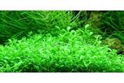 Glossostigma elatinoides - In vitro cup