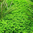 Tropica Hemianthus callitrichoides 'Cuba' - In vitro Cup