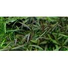 Tropica Hygrophila Araguaia - In vitro Cup
