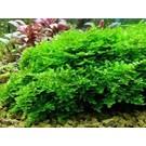 Onlineaquarium spullen Anchor moss in 50 cc cup