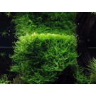 Onlineaquarium spullen Java moss
