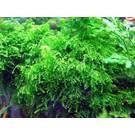 Tropica Weeping moss in 75 of 150 cc cup