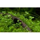 Tropica Micranthemum 'Monte Carlo' - In Vitro Cup