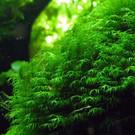 Onlineaquarium spullen Fissidens fontanus ''geppii'' in 25cc cup