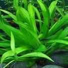 Tropica Helanthium 'Quadricostatus' - In Vitro Cup