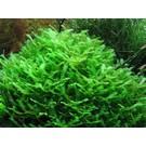 Tropica Monosolenium tenerum - In vitro cup