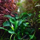 Tropica Bucephalandra 'Wavy Green' op lavasteen