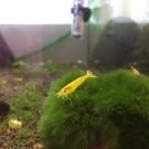 Onlineaquarium spullen Yellow King Kong Garnelen