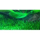 Tropica Littorella uniflora - In vitro cup