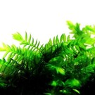 Onlineaquarium spullen Big willow moss - In 50 CC cup
