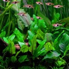 Tropica Cryptocoryne wendtii 'Green' - In vitro cup