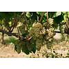 Nr. 16 Chardonnay / Macabeo / Xarel-lo The Finest Grapes - Penedès, Spanje
