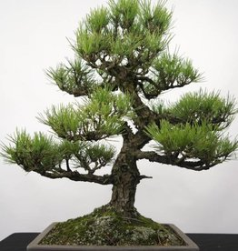 Bonsai Pinus thunbergii, no. 5168
