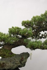 Bonsai Pinus penthaphylla, no. 5177