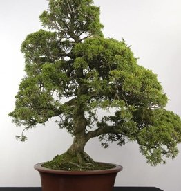 Bonsai Juniperus chinensis itoigawa, no. 5181