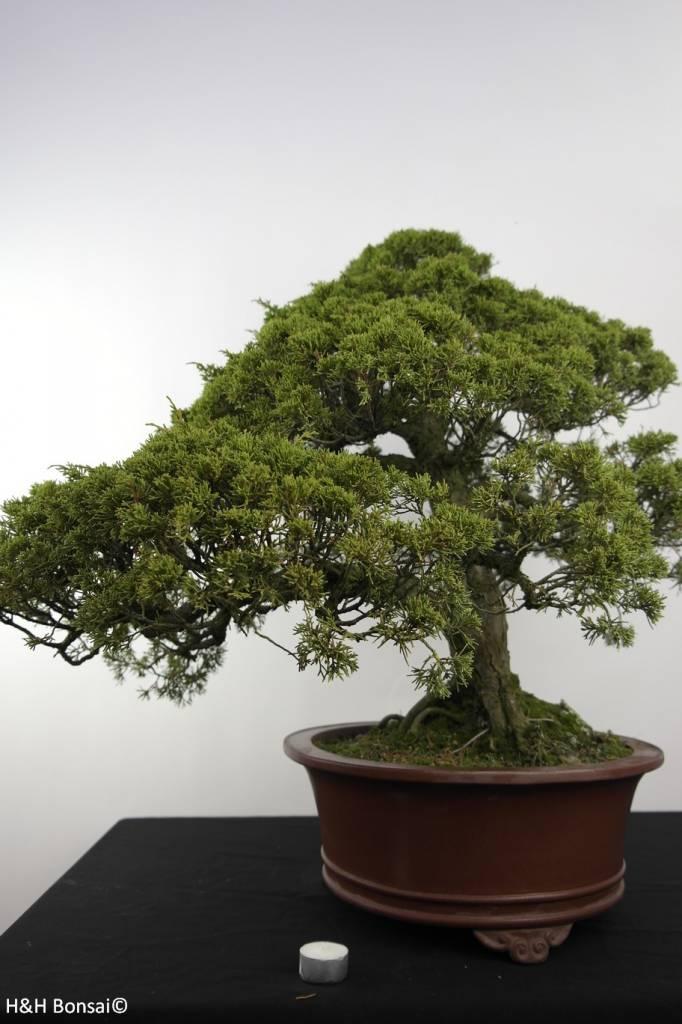 Bonsai Chinese Juniper, Juniperus chinensis itoigawa, no. 5181